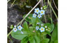 ミズタビラコ花